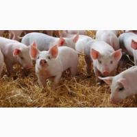 Поросята гибриды, мясные на откорм, Датская селекция