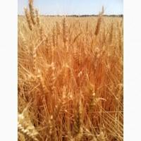 Пшениця озима АМПЕР, насіння озимої пшениці