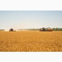 Кукуруза, закупка зерновых крупным оптом