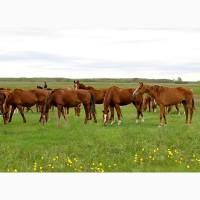 Куплю лошадей на мясо живим весом