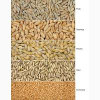 Закупаем пшеницу и ячмень