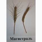 Семена озимой пшеницы Магистраль(супер элита)