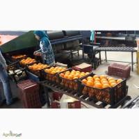Продам египетские апельсины от производителя