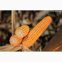 Гібрид кукурудзи Командос (KWS)