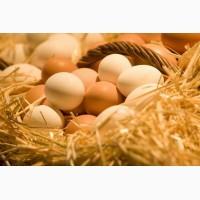 Продам домашние куриные яйца