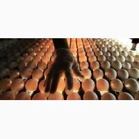 Куры Ломан Браун, Ломан Уайт. Купить яйцо для инкубации
