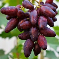Продажа оптом винограда в больших количествах