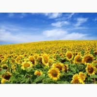 Куплю Високоолеїновий соняшник, Органічний соняшник
