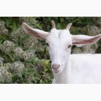 Продам мясо молодых козлят или живым весом