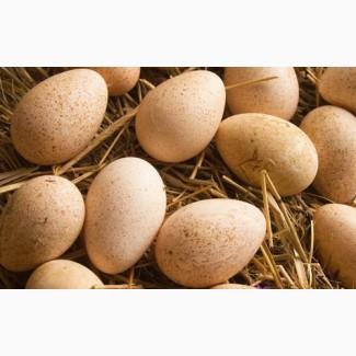 Продам яйця інкубаційні індиків БІГ-6. Доставка по території України