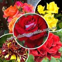 Продам саженцы роз более 150 сортов шикарные цвета