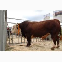 Продам мясных быков