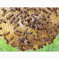 МАТКИ Карпатка 2020 ПЛІДНІ БДЖОЛОМАТКИ ( Пчеломатки, бджолині матки )