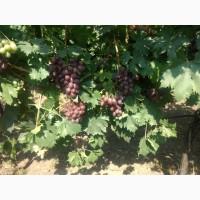 Фермерское хозяйство в Одесской области реализует столовый виноград - сорт Шоколадный, 25т