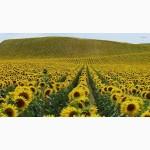 Аркансель-гибрид с высоким потенциалом урожайности