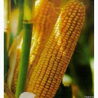 Насіння кукурудзи сорту манифик