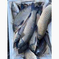 Продам двухлетку БЕЛОГО АМУРА! Возможна доставка рыбовозом! ЗАРЫБОК АМУРА
