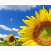 Продамо насіння соняшнику Гранд Адмірал SU