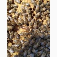 Продам Бджолопакети Бджоломатки Бджолосім#039;ї Бакфаст