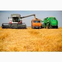 Купим зерновые: кукуруза с поля