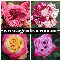 Продажа саженцы роз на осень 2021 в питомнике АГРОДИВО