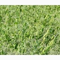 Продам насіння гороху сорту Грегор 1-Р