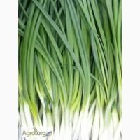 Продам зеленый лук перо, редис, петрушку, укроп. Белая Церковь.