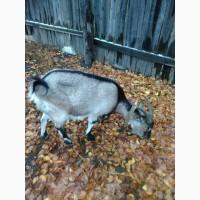 Продам взрослых дойных коз: полтавская белая безрогая и тогенбургская