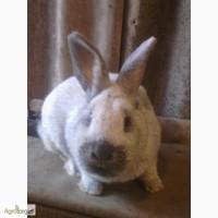 Кролики большое светлое серебро