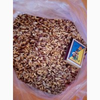 Продам семена чеснока - воздушку, зубок яровой