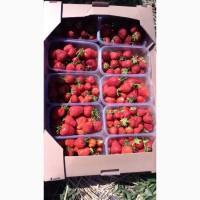 Продам клубнику с поля Киевская область