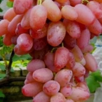 Продажа винограда