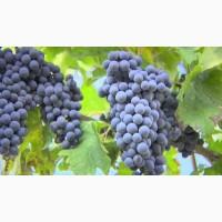 От производителя виноград на крупный опт