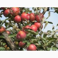 Продаю оптом зимне сорта яблоки собственного производства