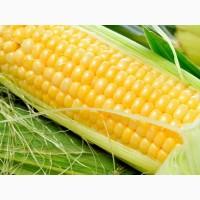 Семена кукурузы Манифик