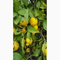 Лимоны ОПТ не дорого__в Турции
