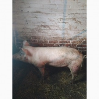 Продам запліднену свиню вік один рік