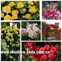 Саженцы роз огромный выбор сортов