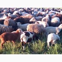 Вівці молоді