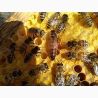 Пчеломатки F1, бджоломатки, матки Карпатки тип Вучковский 2019 года