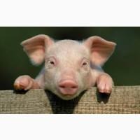 Продажа свиней Черкассы    КУПИТИ свиней жива вага 10/20/100 кг    От производителя