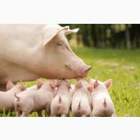 Поросята мясные гибриды Датской селекции