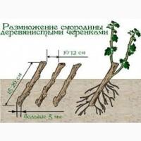 Підприємство «Двірецька грядка» реалізує саджанці смородини чорної