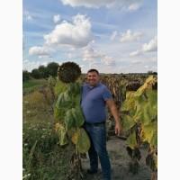 Насіння соняшника гібрид -Альварез (clearfield) 105-110 днів