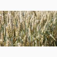"""Озима пшениця Паляниця, насіння ТОВ """"ЛІСТ (реалізуємо від 1т)"""