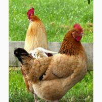 Курячі інкубаційні яйця Фоксі Чік
