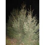 Саженцы ели, сосны, берёзы, дуба красного, клена, липы, черёмухи, барбариса, боярышника, тёрна высотой 0,5-3 метра. Живые изгороди