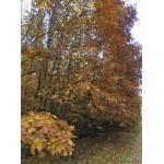 Саженцы дуба красного, падуба высотой 0,5-4 метра.